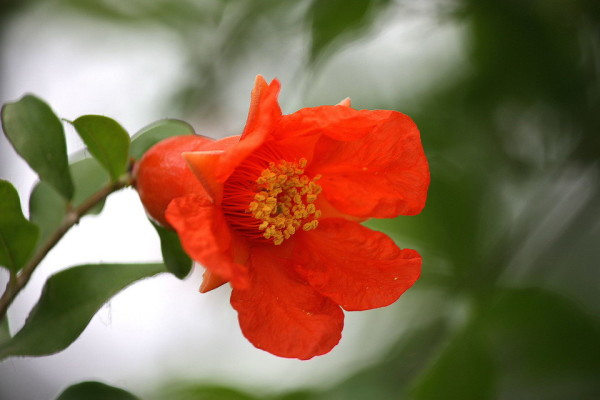 Beautiful red pomegranate flower (06)