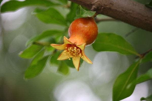 Beautiful red pomegranate flower (17)